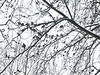 """Counted """"50"""" Mourning Doves in tree  <span class=""""spacer_LB_caption""""> • </span> <br> Backyard <span class=""""spacer_LB_caption""""> • </span> <br> City of Bridgeton <span class=""""spacer_LB_caption""""> • </span>  <br> St. Louis County, Missouri   <span class=""""spacer_LB_caption""""> • </span> <br> 2019-12-16"""