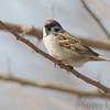 "Eurasian Tree Sparrow  <span class=""spacer_LB_caption""> • </span> <br> Riverlands Migratory Bird Sanctuary"