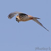 "American Kestrel  <span class=""spacer_LB_caption""> • </span> <br> Riverlands Migratory Bird Sanctuary"