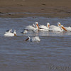 """American White Pelican  <span class=""""spacer_LB_caption""""> • </span> <br> Ring-billed Gulls  <span class=""""spacer_LB_caption""""> • </span> <br> Ellis Bay  <span class=""""spacer_LB_caption""""> • </span> <br> Riverlands Migratory Bird Sanctuary"""