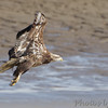 "Bald Eagle  <span class=""spacer_LB_caption""> • </span> <br> Ellis Bay  <span class=""spacer_LB_caption""> • </span> <br> Riverlands Migratory Bird Sanctuary"