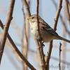 "American Tree Sparrow  <span class=""spacer_LB_caption""> • </span> <br> Riverlands Migratory Bird Sanctuary"