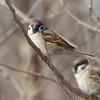 "Eurasian Tree Sparrows  <span class=""spacer_LB_caption""> • </span> <br> Riverlands Migratory Bird Sanctuary"