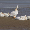 "American White Pelican  <span class=""spacer_LB_caption""> • </span> <br> Ellis Bay  <span class=""spacer_LB_caption""> • </span> <br> Riverlands Migratory Bird Sanctuary"