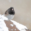 "Dark-eyed Junco (Oregon)  <span class=""spacer_LB_caption""> • </span> <br> Front yard feeders  <span class=""spacer_LB_caption""> • </span> <br> Bridgeton, Mo.  <span class=""spacer_LB_caption""> • </span> <br> 2019-02-15"