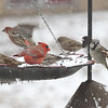 "Front yard feeder  <span class=""spacer_LB_caption""> • </span> <br> Bridgeton, Mo  <span class=""spacer_LB_caption""> • </span> <br> 2019-02-15"
