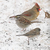 "Northern Cardinal (female)  <span class=""spacer_LB_caption""> • </span> <br> Dark-eyed Junco (Oregon)  <span class=""spacer_LB_caption""> • </span> <br> White-throated Sparrow   <span class=""spacer_LB_caption""> • </span> <br> Front yard feeder  <span class=""spacer_LB_caption""> • </span> <br> Bridgeton, Mo  <span class=""spacer_LB_caption""> • </span> <br> 2019-02-15"