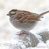 "White-throated Sparrow   <span class=""spacer_LB_caption""> • </span> <br> Front yard feeder  <span class=""spacer_LB_caption""> • </span> <br> Bridgeton, Mo  <span class=""spacer_LB_caption""> • </span> <br> 2019-02-15"