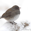 "Dark-eyed Junco  <span class=""spacer_LB_caption""> • </span> <br> Front yard feeders  <span class=""spacer_LB_caption""> • </span> <br> Bridgeton, Mo.  <span class=""spacer_LB_caption""> • </span> <br> 2019-02-15"