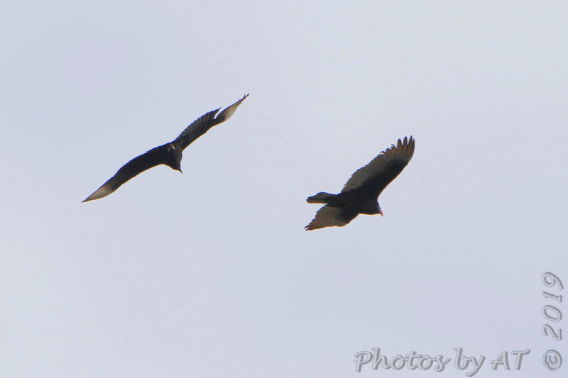 "Black Vulture • Turkey Vulture  <span class=""spacer_LB_caption""> • </span> <br> Dewey Short Visitor Center Area  <span class=""spacer_LB_caption""> • </span> <br> South end of dam  <span class=""spacer_LB_caption""> • </span> <br> Table Rock Lake"