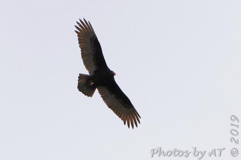 "Turkey Vulture  <span class=""spacer_LB_caption""> • </span> <br> Dewey Short Visitor Center Area  <span class=""spacer_LB_caption""> • </span> <br> South end of dam  <span class=""spacer_LB_caption""> • </span> <br> Table Rock Lake"