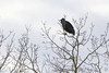 "Black Vulture   <span class=""spacer_LB_caption""> • </span> <br> Shepherd of the Hills Fish Hatchery  <span class=""spacer_LB_caption""> • </span> <br> Below table Rock Dam"