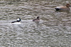 "Bufflehead (M&amp;F) • Gadwall  <span class=""spacer_LB_caption""> • </span> <br> Shepherd of the Hills Fish Hatchery  <span class=""spacer_LB_caption""> • </span> <br> Below table Rock Dam"