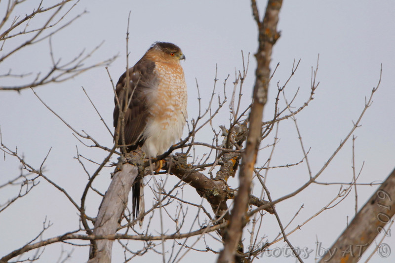 "Cooper's Hawk  <span class=""spacer_LB_caption""> • </span> <br> Dewey Short Visitor Center Area  <span class=""spacer_LB_caption""> • </span> <br> South end of dam  <span class=""spacer_LB_caption""> • </span> <br> Table Rock Lake"