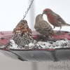 "Fox Sparrow  <span class=""spacer_LB_caption""> • </span> <br> Male and female House Finches  <span class=""spacer_LB_caption""> • </span> <br> Bridgeton,Mo <span class=""spacer_LB_caption""> • </span> <br> 2019-01-13"
