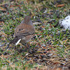 "Dark-eyed Junco  <span class=""spacer_LB_caption""> • </span> <br> Front yard  <span class=""spacer_LB_caption""> • </span> <br> Bridgeton,Mo <span class=""spacer_LB_caption""> • </span> <br> 2019-01-19"