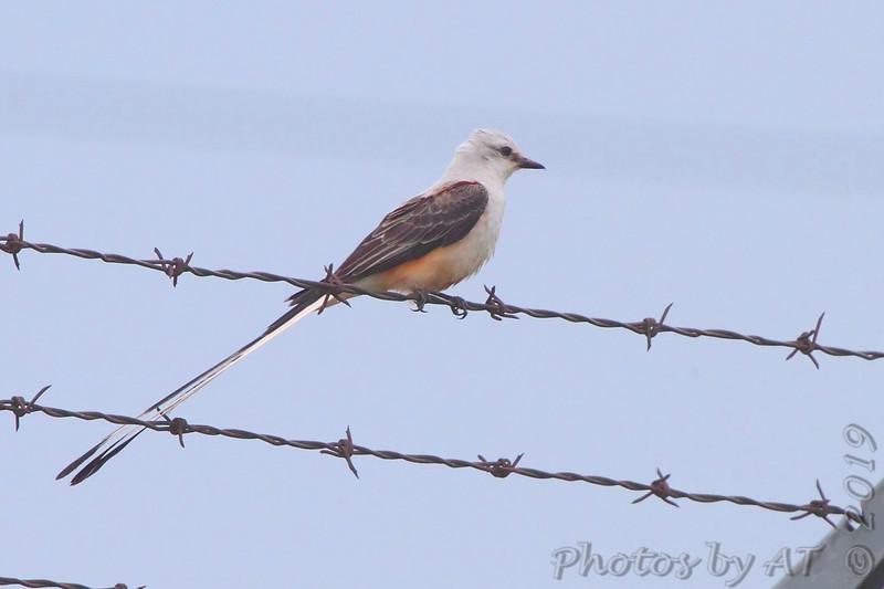 Scissor-tailed Flycatcher <br /> City of Stafford <br /> Greene County, Missouri