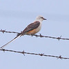 Scissor-tailed Flycatcher <br /> City of Stafford <br /> Greene County, Missouri