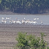 American Flamingo <br /> and American White Pelicans <br /> Viewed from levee on <br /> Donaldson Point Conservation Area