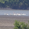 American Flamingo <br /> and American White Pelicans <br /> Viewed from levee on <br /> Donaldson Point Conservation Area <br /> 2019-07-20 <br /> <br /> No. 350 on my Lifetime List of Bird Species <br /> Photographed in Missouri.