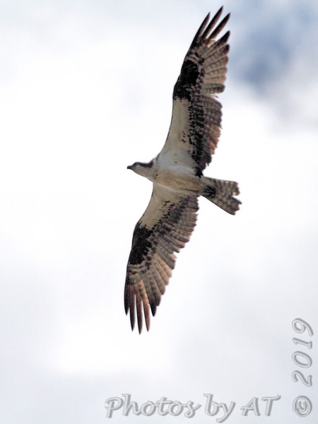 Osprey <br /> Lincoln Shields Area <br /> Riverlands Migratory Bird Sanctuary