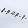 Bank Swallows <br /> Dalbow Road <br /> St. Charles County