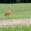 Sandhill Crane <br /> Firma Road <br /> St. Charles County, MO