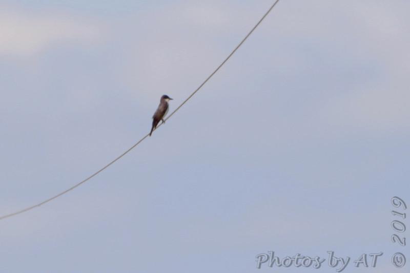 Eastern Kingbird <br /> Firma Road <br /> St. Charles County, MO