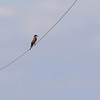 Eastern Kingbird <br /> Firma Road <br /> St. Charles County, MO