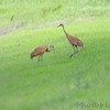 Sandhill Cranes <br /> Firma Road <br /> St. Charles County, MO