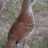 Brown Thrasher <br /> City of Bridgeton <br /> St. Louis County, Missouri <br /> 2019-07-03