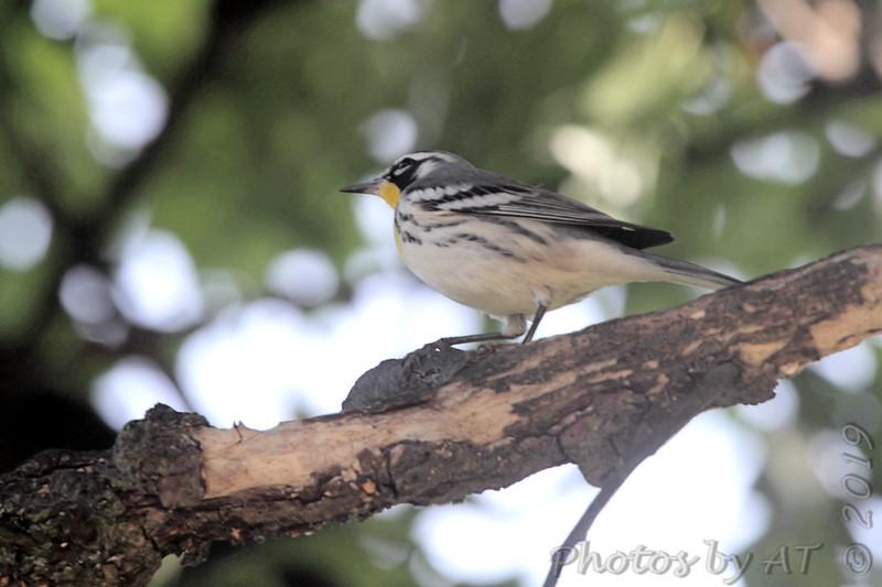 Yellow-throated Warbler <br /> Backyard <br /> City of Bridgeton <br /> St. Louis County, Missouri <br /> 2019-07-31