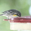Yellow-throated Warbler <br /> Front yard feeder <br /> City of Bridgeton <br /> St. Louis County, Missouri  <br /> 2019-07-31