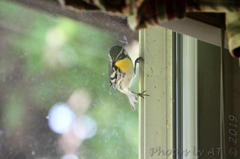 Yellow-throated Warbler <br /> kitchen window <br /> City of Bridgeton <br /> St. Louis County, Missouri <br /> 2019-07-31