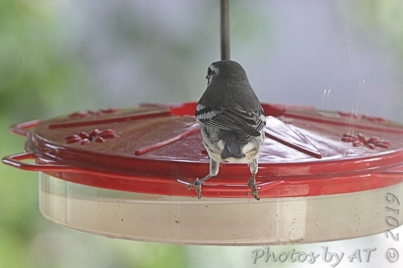 Yellow-throated Warbler <br /> Backyard kitchen window feeders   <br /> City of Bridgeton <br /> St. Louis County, Missouri <br /> 2019-07-31