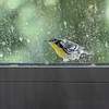 Yellow-throated Warbler <br /> Cleaning out window gutter <br /> Dirty kitchen window <br /> City of Bridgeton <br /> St. Louis County, Missouri <br /> 2019-07-30