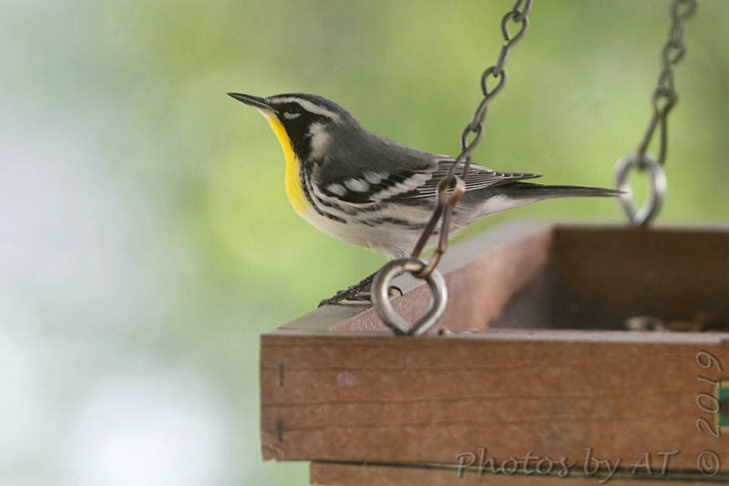 Yellow-throated Warbler <br /> Backyard kitchen window feeders  <br /> City of Bridgeton <br /> St. Louis County, Missouri <br /> 2019-07-31
