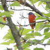Painted Bunting <br /> Yarnell Road in Fenton Mo. <br /> St. Louis County