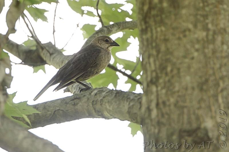 Brown-headed Cowbird <br /> Bridgeton, Mo.<br /> 2019-06-11