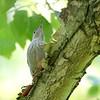 Red-bellied Woodpecker (juvenile)<br /> Bridgeton, Mo.<br /> 2019-06-11