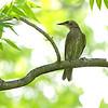 European Starling <br /> Bridgeton, Mo.<br /> 2019-06-11