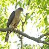 Cooper's Hawk <br /> Bridgeton, Mo.<br /> 2019-06-11