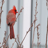 Northern Cardinal <br /> Feeders behind Visitor Center <br /> Columbia Bottom Conservation Area