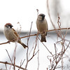 Eurasian Tree Sparrow <br /> and House Sparrow <br /> Feeders behind Visitor Center <br /> Columbia Bottom Conservation Area