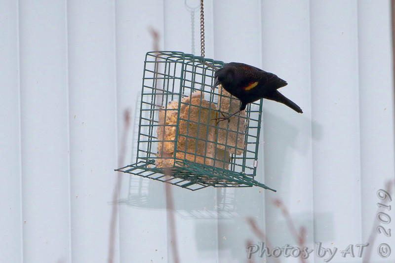 Red-winged Blackbird <br /> Feeders behind Visitor Center <br /> Columbia Bottom Conservation Area