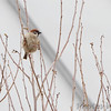 Eurasian Tree Sparrow <br /> Feeders behind Visitor Center <br /> Columbia Bottom Conservation Area
