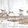 American Golden Plovers <br /> Hwy N <br /> Windfield, Mo.