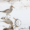 Pectoral Sandpiper <br /> Hwy N <br /> Windfield, Mo.