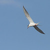 Forster's Tern <br /> Below Spillway <br /> Riverlands Migratory Bird Sanctuary