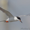Forster's Tern <br /> Upper Ellis bay <br /> Riverlands Migratory Bird Sanctuary